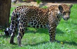 jaguar Images stock