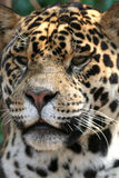jaguar Royaltyfria Bilder