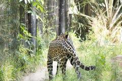 jaguar Immagine Stock