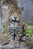 Jaguar. Beautiful jaguar looking right at you Royalty Free Stock Photography