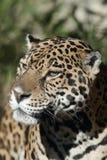Jaguar 8681 Stock Photography