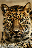 Jaguar. royalty free stock photos