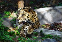 Jaguar achter de bar stock afbeelding