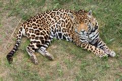 Jaguar alert Royalty Free Stock Image