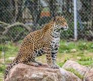 Jaguar alerta en roca Imagen de archivo libre de regalías