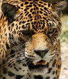 Jaguar allo zoo di Jacksonville, Jacksonville, FL Fotografie Stock Libere da Diritti