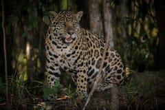Jaguar americano en la oscuridad de una selva brasileña Foto de archivo libre de regalías