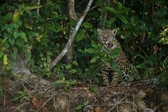 Jaguar americano en la oscuridad de una selva brasileña Fotos de archivo