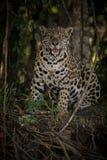 Jaguar americano en la oscuridad de una selva brasileña Fotografía de archivo