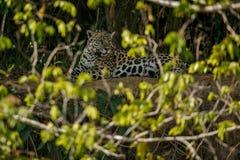 Jaguar americano en la oscuridad de una selva brasileña Fotos de archivo libres de regalías