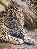 Jaguar in angry mood. Jaguar sitting on the ground in angry mood royalty free stock photo