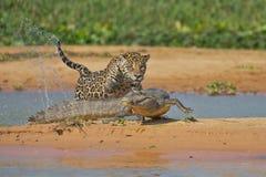 Jaguar attacking cayman. Jaguar hunting a crocodile cayman in Pantanal Brazil stock photos