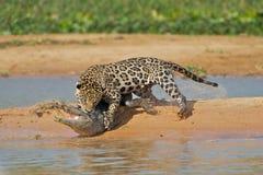 Jaguar attacking cayman. Jaguar hunting a crocodile cayman in Pantanal Brazil royalty free stock images