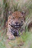Jaguar au Brésil Photos libres de droits