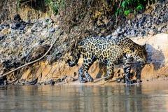 Jaguar auf dem Prowl auf den Banken des Cuiaba-Flusses Lizenzfreie Stockfotos