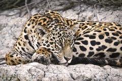 Jaguar auf einer Flussbank Stockfoto