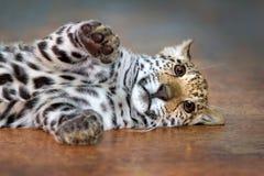 Jaguar baby rest Royalty Free Stock Images