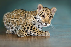 Jaguar baby rest Royalty Free Stock Image