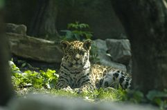 The jaguar baby. Baby jaguar shining summer portrait Royalty Free Stock Photo