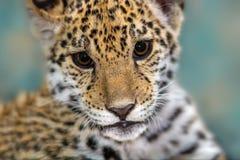 Jaguar-Babyabschluß herauf Porträt stockbild