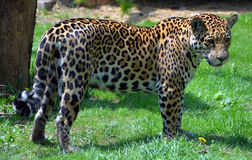 Jaguar. Is a big cat, a feline in the Panthera genus only extant Panthera species native to the Americas.  is the 3 largest feline after the tiger and lion, and Stock Images