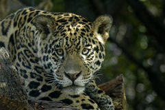 The jaguar. The big jaguar portrait view Stock Photos