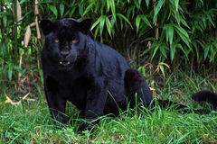 Jaguar. Black jaguar against a background of thick bamboo Royalty Free Stock Photography