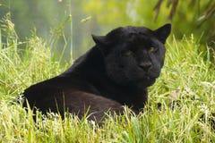 Jaguar Stock Photos