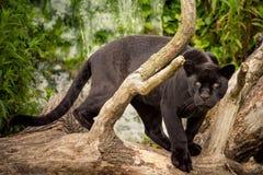 Jaguar Stock Photography