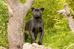 Jaguar. A black Jaguar standing in the sun Stock Images