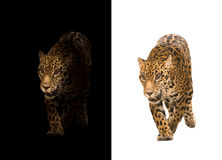 Jaguar on black and white background. Jaguar on black background and jaguar on white background Stock Photo