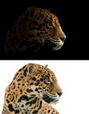 Jaguar on black and white background Royalty Free Stock Image