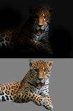 Jaguar on black and white background Royalty Free Stock Photography