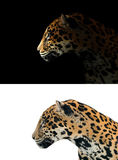 Jaguar on black and white background Stock Photography