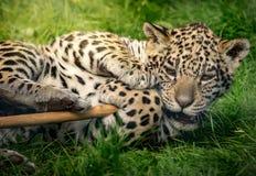 Jaguar bonito Cub Fotografia de Stock