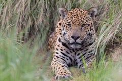 Jaguar in Brasil. Close up of jaguar in pantanal, brasil Stock Image