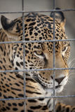 Jaguar in Cage Royalty Free Stock Photography