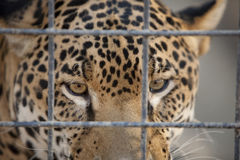 Jaguar in Cage Royalty Free Stock Image