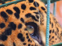 Jaguar. In captivity Royalty Free Stock Photo