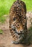 Jaguar Cat. Pacing / stalking prey Royalty Free Stock Image