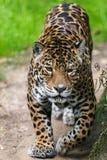 Jaguar Cat. Pacing / stalking prey Stock Photography