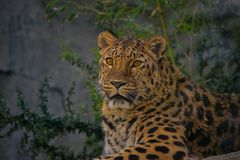Jaguar, cat, bigcat, color, portrait stock photo
