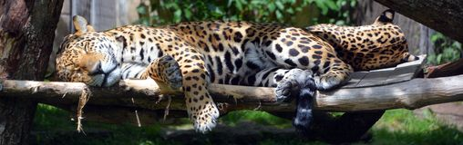 Jaguar is a cat, a feline. In the Panthera genus only extant Panthera species native to the Americas. Jaguar is the third-largest feline after the tiger and stock photo