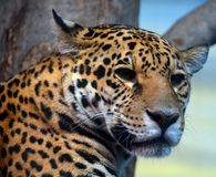 Jaguar is a cat, a feline in the Panthera genus. Only extant Panthera species native to the Americas. Jaguar is the third-largest feline after the tiger and royalty free stock images