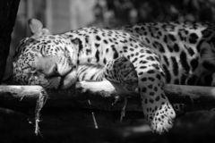 Jaguar is a cat, a feline. In the Panthera genus only extant Panthera species native to the Americas. Jaguar is the third-largest feline after the tiger and stock image