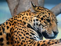 Jaguar is a cat, a feline in the Panthera genus. Only extant Panthera species native to the Americas. Jaguar is the third-largest feline after the tiger and royalty free stock image