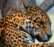 Jaguar is a cat, a feline in the Panthera genus. Only extant Panthera species native to the Americas. Jaguar is the third-largest feline after the tiger and stock photo
