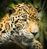 Jaguar Cat Growling lizenzfreie stockfotografie