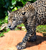 Jaguar. Cat looks like he is growling at something Stock Photos