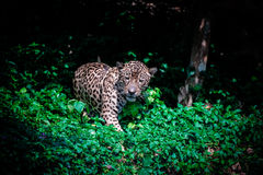 Jaguar. Cat looks like he is growling at something Royalty Free Stock Photo